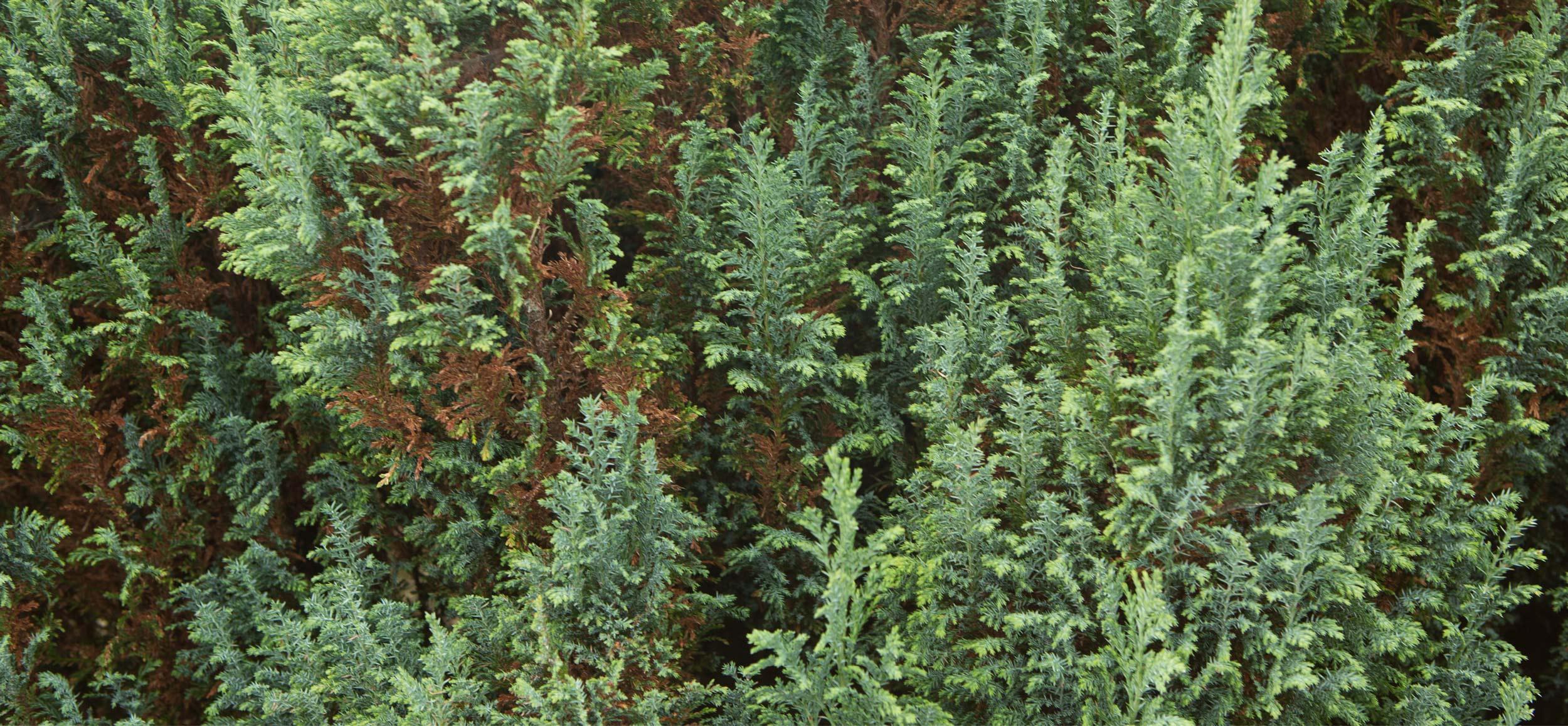 Novas video and photography production soft evergreen foliage